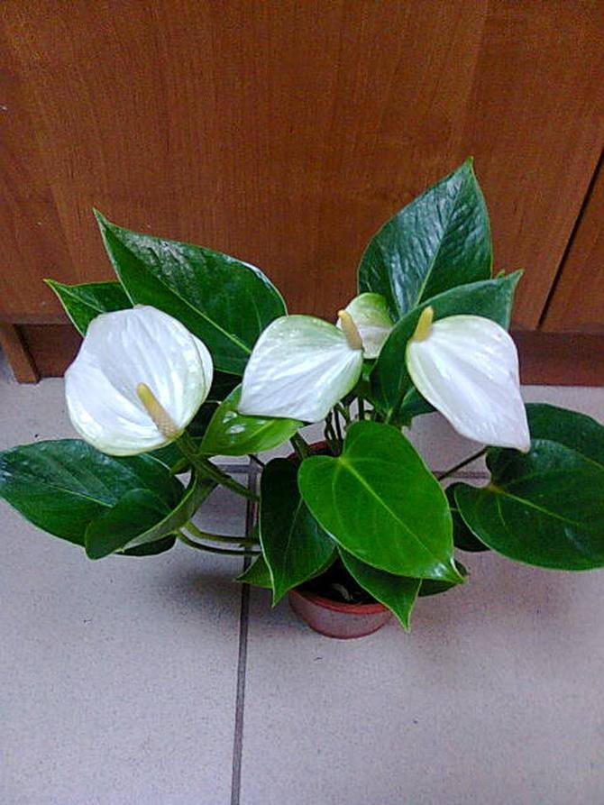 Anturium białe