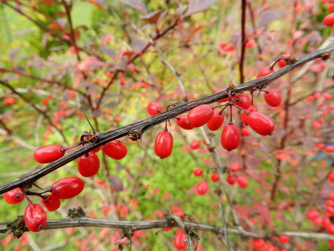 Berberys-owoce