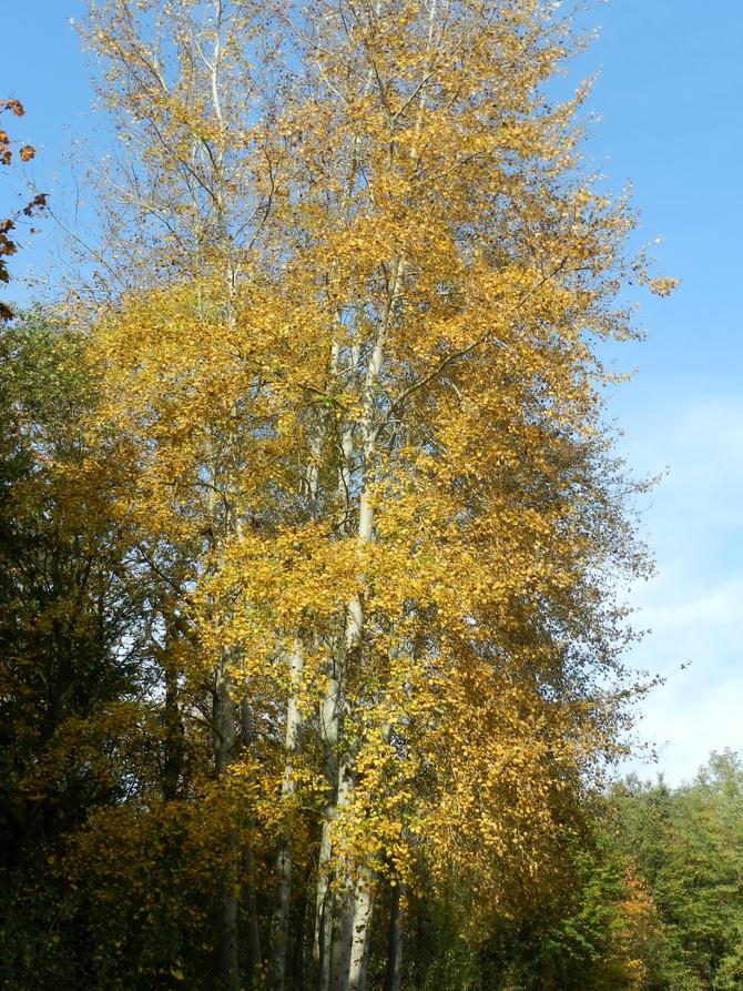 Brzoza brodawkowata jesienią