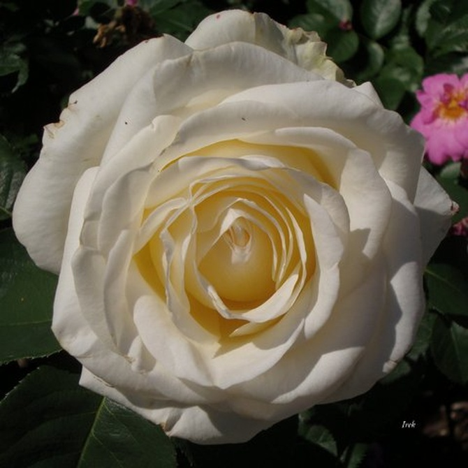 Dla Tych, Którym podobają się róże.