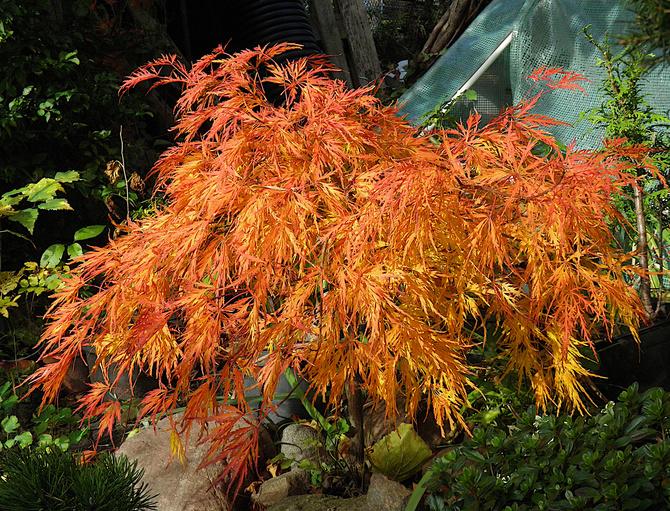 jesienny klon palmowy
