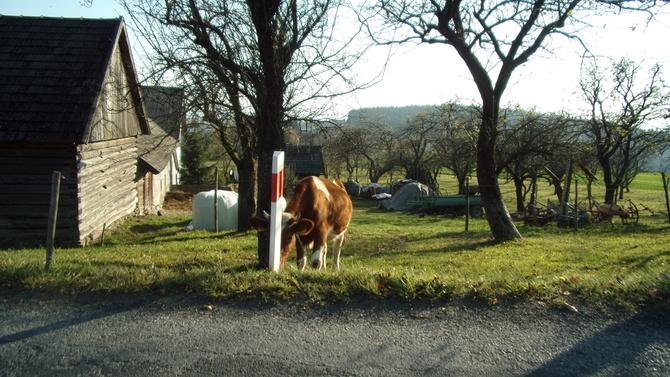Krowa chowała się za słupkiem.
