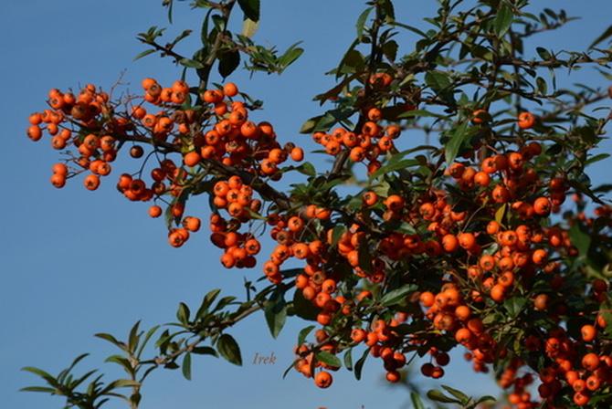 Krzew z owocami