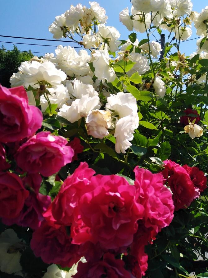Moje majowe różyczki