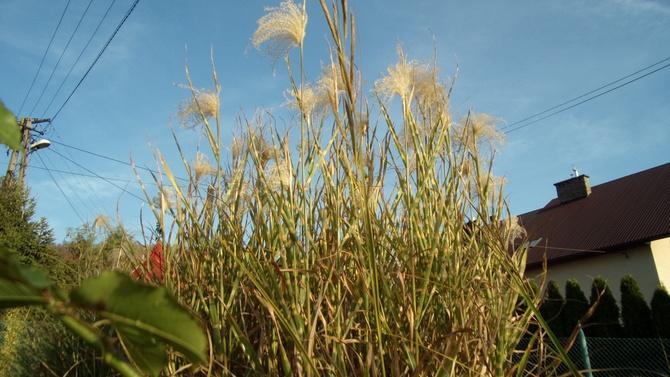 Pióropusze traw proszą