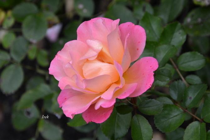 Róża landrynkowa.