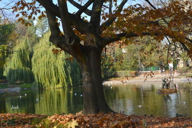 Solidny dąb w parku
