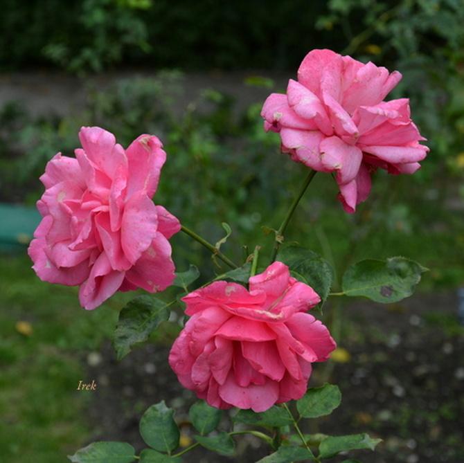 Zmęczone róże