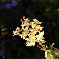 Aster jesienny variegata...