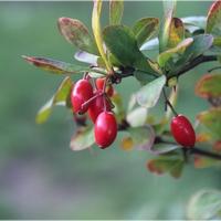 Berberysowe owoce...