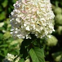 Biały Kwiat Wysoki,