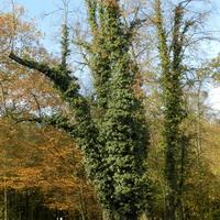 Bluszcz pospolity na drzewie