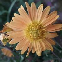 Chryzantemowe słoneczko