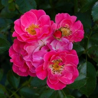 Kolorowe różyczki