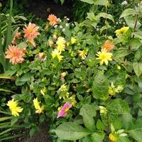 Dalie-jeszcze pięknie kwitną