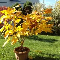 I mój klonik ' bonsai ' też .