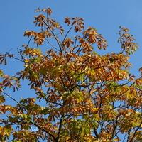 Jesienny kasztanowiec