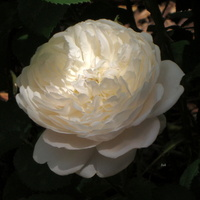 Niedzielna róża