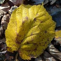 Żółty liść