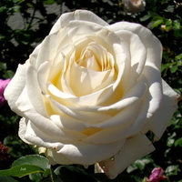 Róża w białym kolorze
