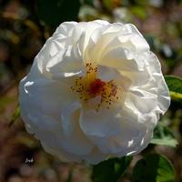 Róża w zdecydowanie białym kolorze