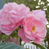 Różany róż dla Ani :)