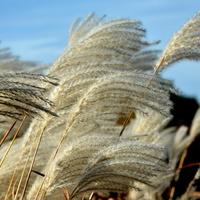 Trawy ozdobne na silnym wietrze