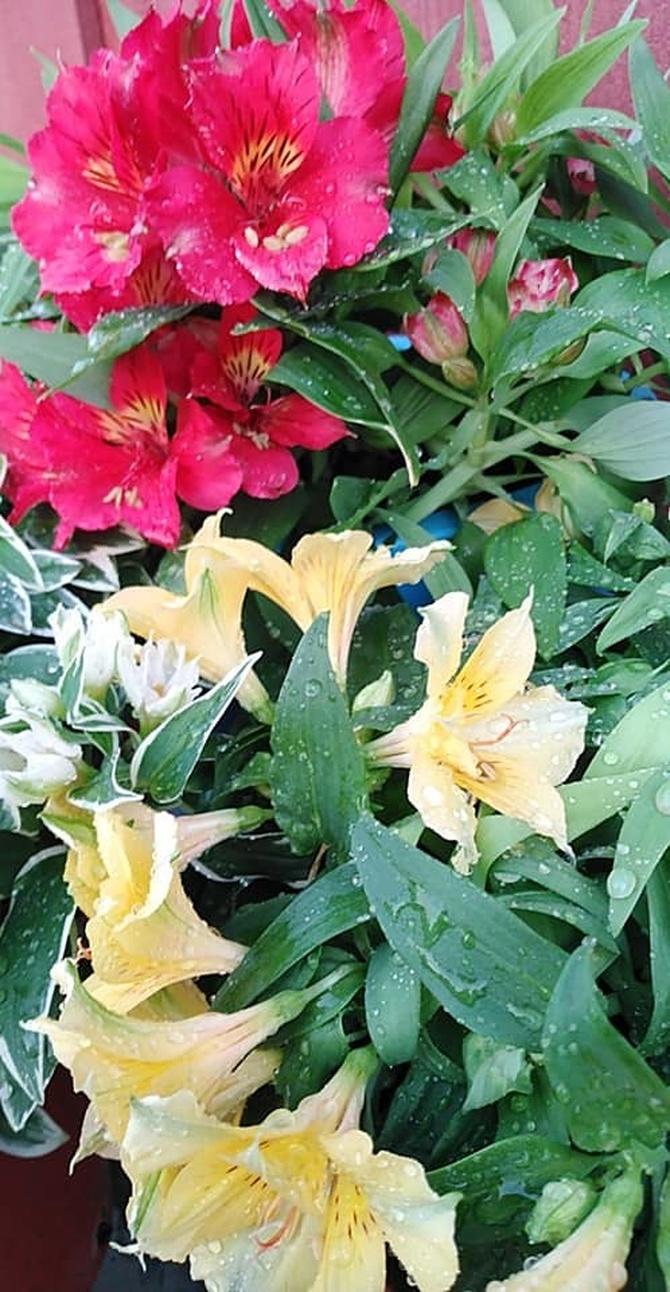 Alstremeria-lilia inków