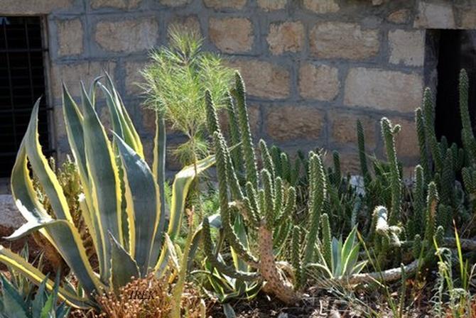 Kaktusy w plenerze