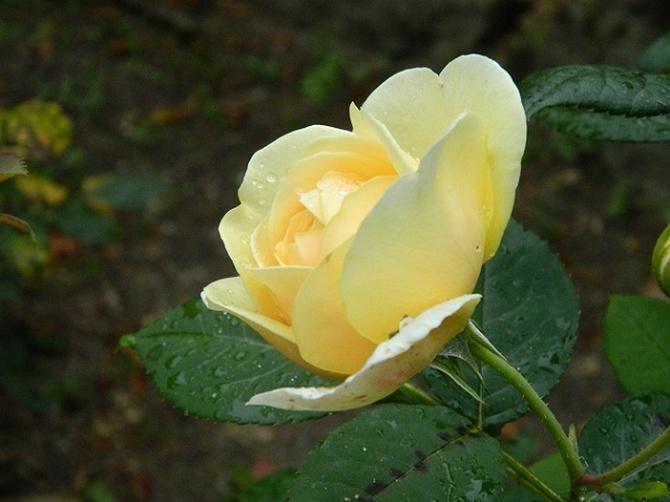 Różany wdzięk...