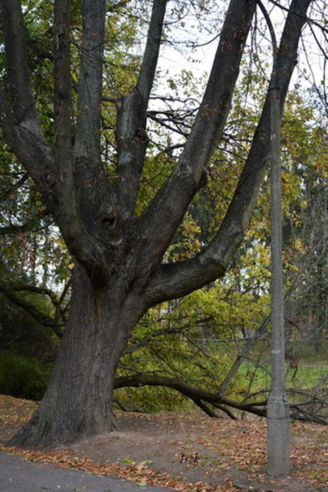 Solidne drzewo w parku.
