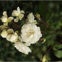 Białe różyczki...