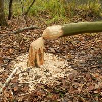 Bobry niszczą drzewa