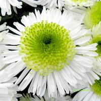 Chryzantemy-jesienne kwiaty