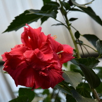 Czerwony kwiat w palmiarni w O B