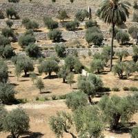 drzewa oliwkowe