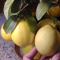 Drzewko cytryny