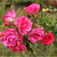 I różowe...