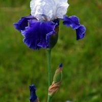 Irys niebiesko-biały