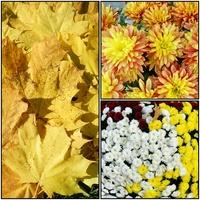 Jesienne kwiaty-chryzantemy