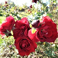 Jesienne róże c. bordo .