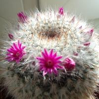 Kaktusik założył wianuszek .