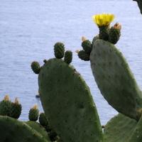 Kaktusy nad Morzem Śródziemnym w Monako