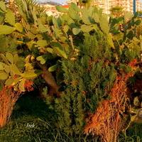 Kaktusy w Turcji...