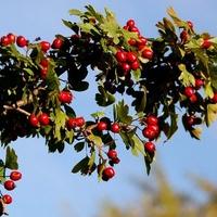 krzew z owocnikami