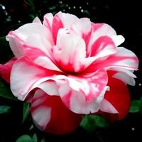 Kwiat odpowiedni na Dzień Niepodległości .