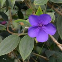 Kwiatek fioletowy w szklarni