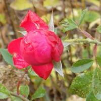 Listopadowa róża :)