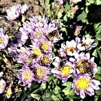 Miododajne astry i pszczoły .