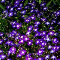niebieskie kwiatki